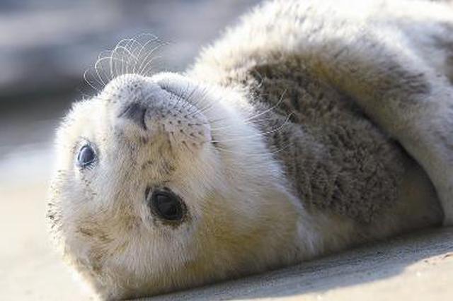 加强斑海豹保护 大连有新动作