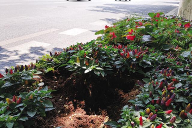 花被挖掉,花坛内留下一个大洞。