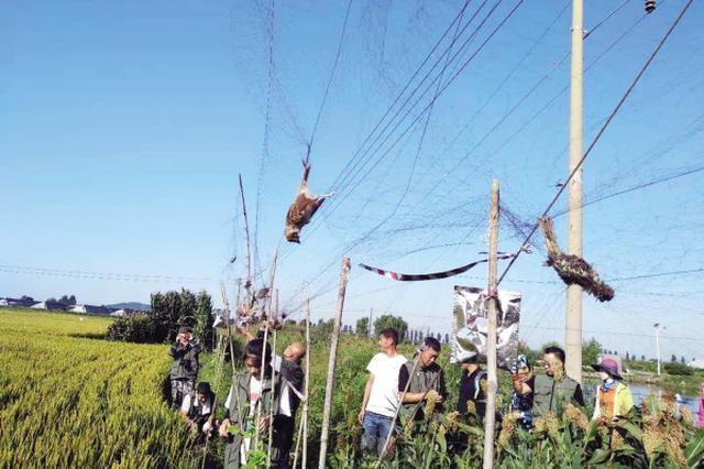 稻田密布118张墙网 大连护鸟志愿一天救助放飞111只鸟