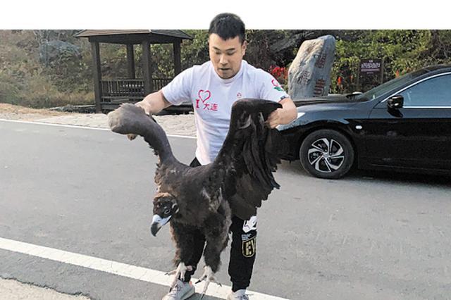 庄河天门山景区门前飞来一只受伤秃鹫