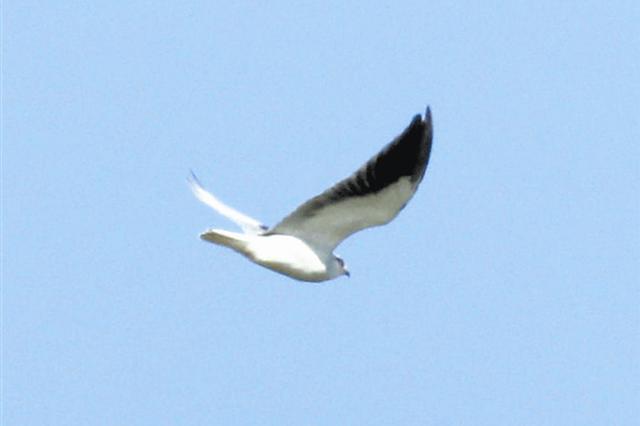 大连地区首次记录国家二级保护鸟类黑翅鸢