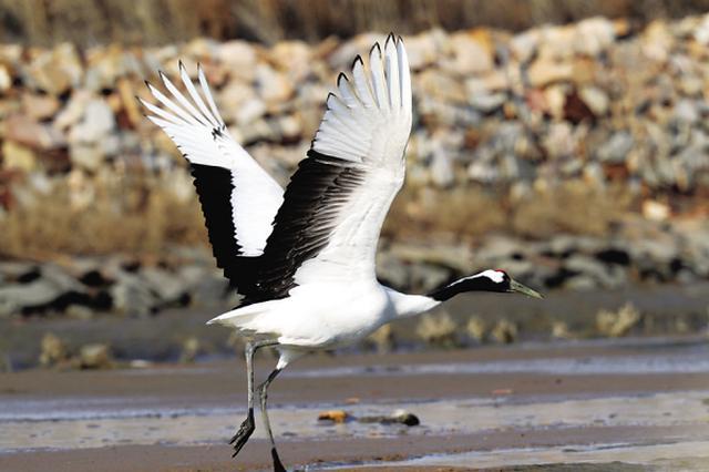 丹顶鹤二十年来首次来旅顺过冬