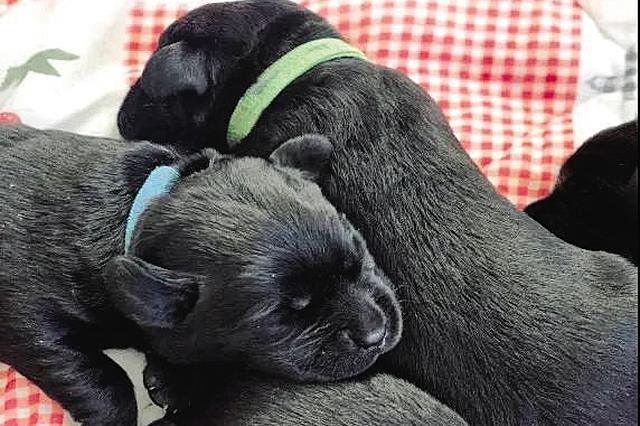 中国导盲犬大连培训基地14只导盲犬宝宝寻寄养家庭