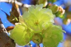 国宝级绿樱花绽放旅顺樱花园