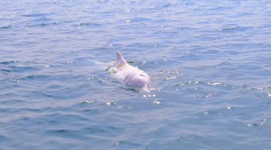 长海县大长山岛来了一位神秘访客——中华白海豚