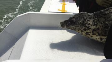5只野外救助斑海豹放归大海