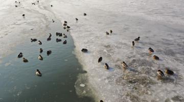 连日低温 金州湾海域结冰