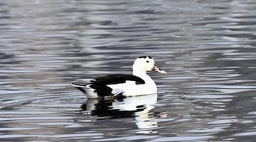多种类鸟儿飞回旅顺老铁山越冬