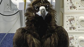天门山受伤秃鹫已获救