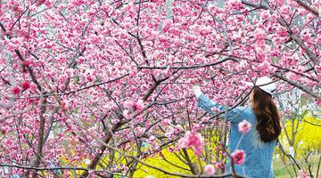 4月4日旅顺樱花园正式开门纳客