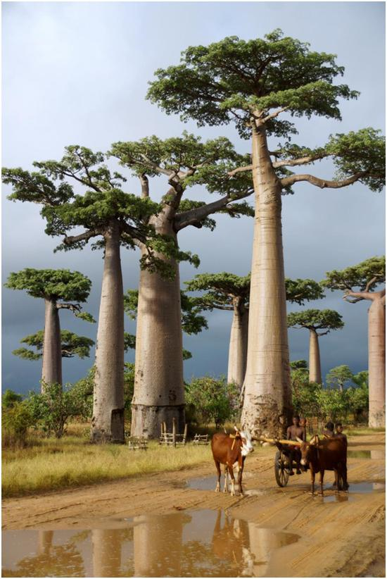 马达加斯加穆龙达瓦。 摄影:杨民 (中国)