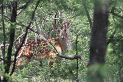 这只雌性梅花鹿,看起来很温柔。