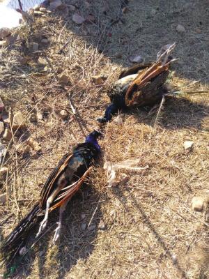 死亡的孔雀。