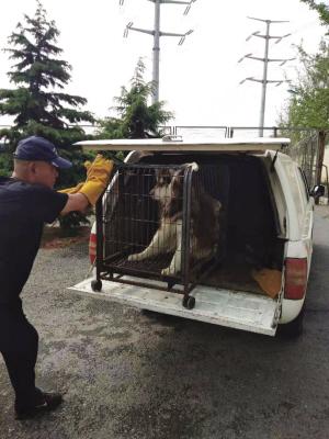强制收容禁养犬只。