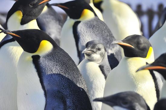 新生小帝企鹅