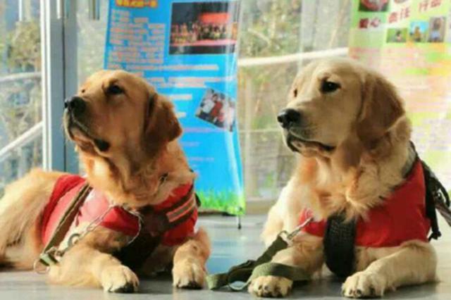 中国第三只导盲犬沙沙在大连退役