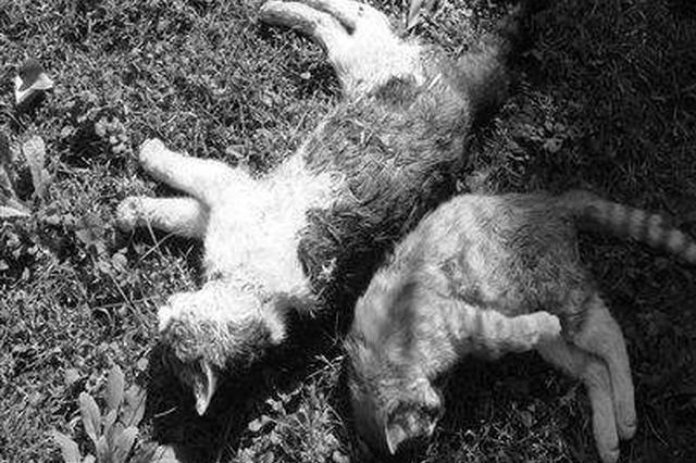 小区内十余只流浪猫 几天内莫名中毒死亡