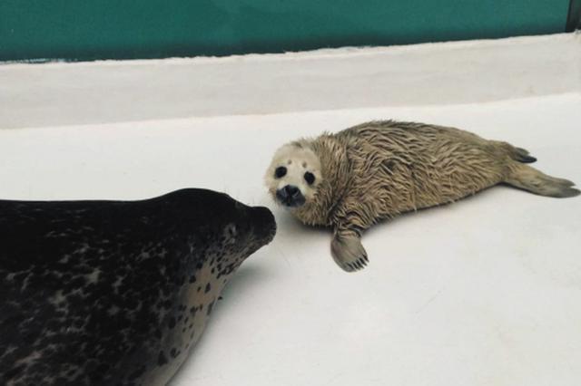被救助斑海豹当妈妈