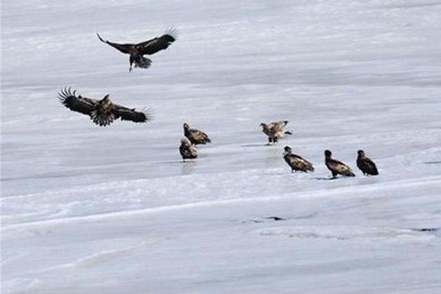 冰封西海天净好白尾海雕展翅翱