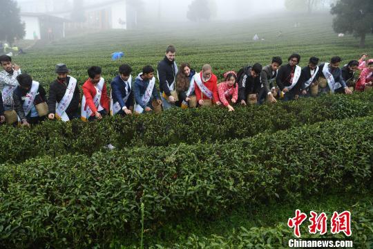 外籍留学生重庆学习采茶制茶 感受中国茶文化