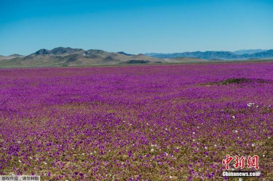 资料图:智利阿塔卡马沙漠花开遍地。