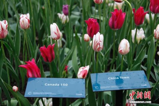"""资料图:2017年加拿大郁金香节于5月中下旬在渥太华举行。图为郁金香花海中,名为""""China Town(唐人街)""""的品种(红色)与2017年节庆主打品种""""加拿大150""""(红白相间者)交相辉映。中新社记者 余瑞冬 摄"""