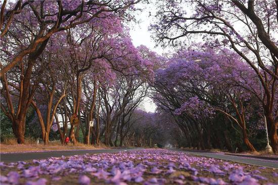 2016年10月2日,在津巴布韦首都哈拉雷,蓝花楹盛开。(新华社发,陈雅琴摄)