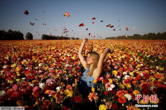 资料图:以色列加沙,成片的毛茛花盛开。游客徜徉在花海中享受阳光。