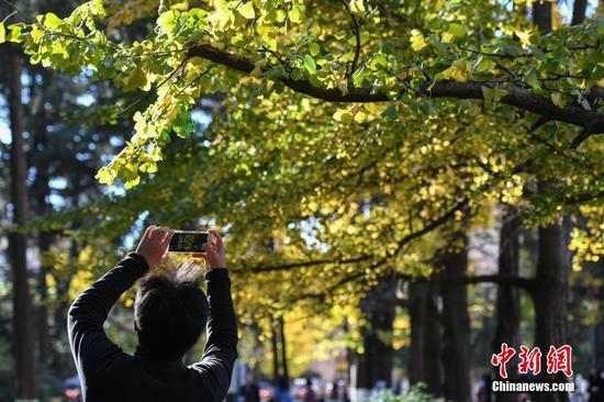 参观者在云南大学银杏道上留影