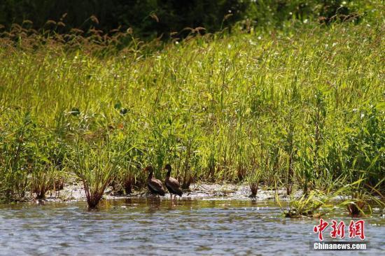 巴拿马运河掠影,生活在运河区的禽类。中新社记者 余瑞冬 摄