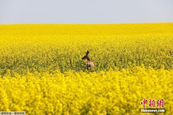 資料圖:加拿大阿爾伯塔省西部油菜花盛開。