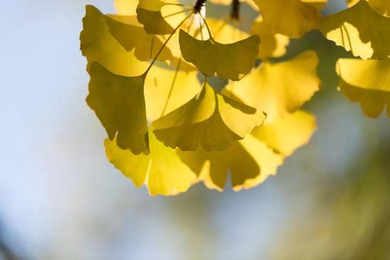 秋风谁扇得 几树杏儿黄