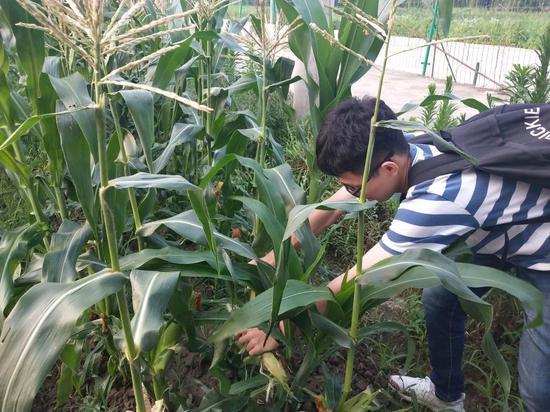 采摘水果玉米
