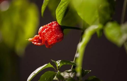 双语:吃了世界上最辣的辣椒会怎样