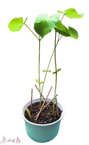 """新生用家乡土种植的""""莞工豆""""已生根发芽."""