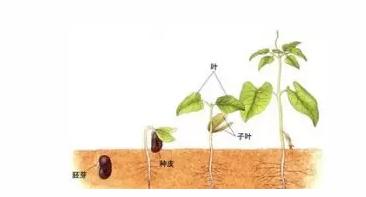 26.种子萌发的环境条件有一定的水分、充足的空气、适宜的温度。
