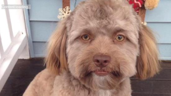双语:一只狗狗意外刷爆外网 只因有一张人脸?