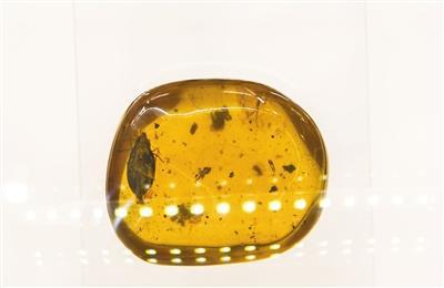 12月23日,中关村图书大厦石探记博物科学馆,展出琥珀内发现的新物种——齿胸波眼甲。新京报记者 陶冉 摄