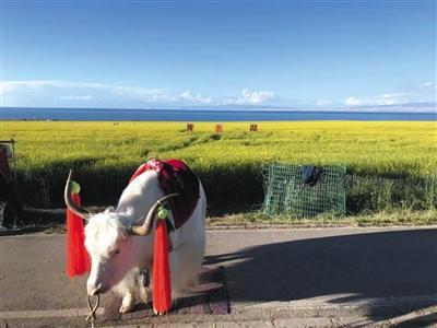 周浩在青海湖旁遇到的白色牦牛。