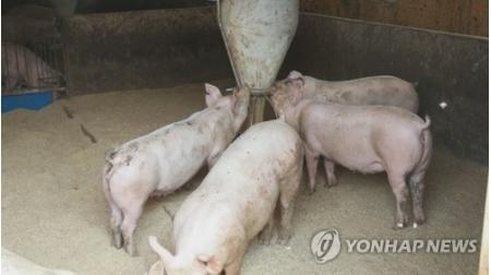 圈养的家猪(资料图)