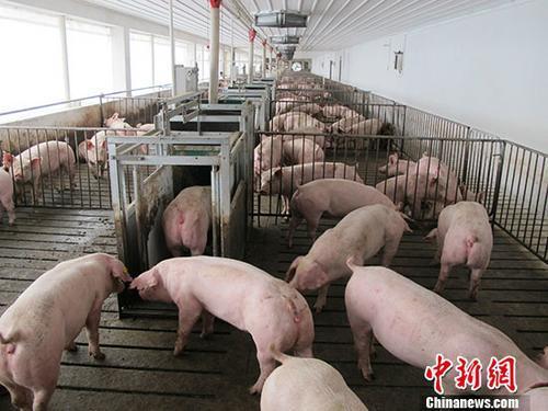 资料图:养猪大棚里的猪。 中新社记者 林浩 摄