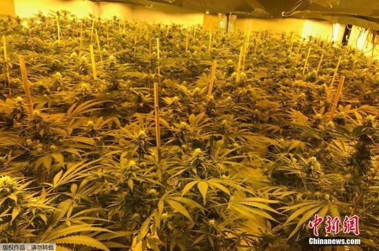 资料图片:大麻类植物种植地。