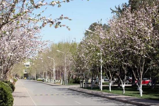 玉泉路校区春季海棠花盛开