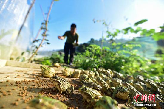 图为在青蛙养殖基地,杨胜华在给青蛙投食。杨武魁 摄