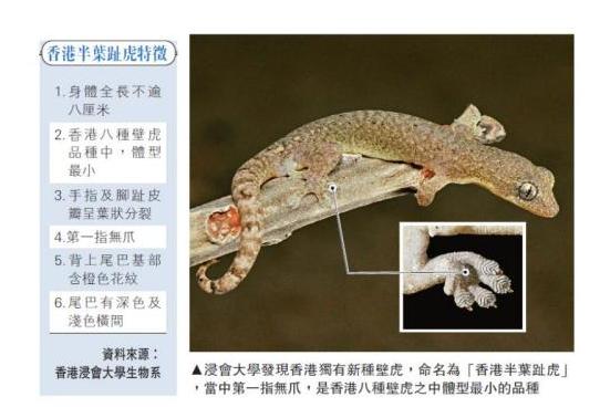 """浸会大学发现香港独有新种壁虎,命名为""""香港半叶趾虎"""",当中第一指无爪,是香港八种壁虎之中体型最小的品种"""