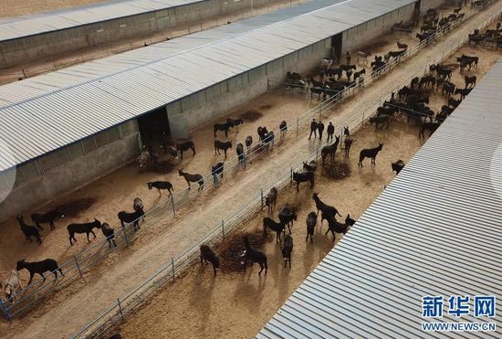 在张掖市甘州区靖安乡黑驴养殖基地,普贤(中)和养殖工作人员巡查驴棚(3月15日摄)。新华社记者 范培珅摄