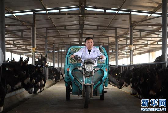 在张掖市甘州区靖安乡黑驴养殖基地,普贤驾驶三轮车在驴棚中给驴喂食(3月15日摄)。新华社记者 范培珅摄