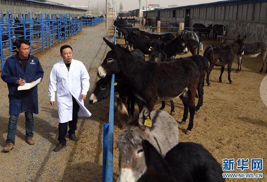 在张掖市甘州区靖安乡黑驴养殖基地,普贤(右)和工作人员在养殖基地巡查(3月15日摄)。新华社记者 范培珅摄