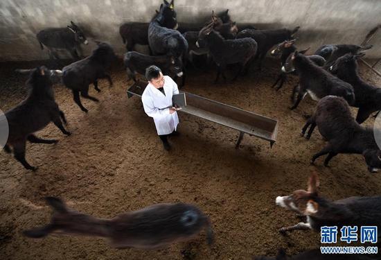 在张掖市甘州区靖安乡黑驴养殖基地,普贤在驴棚内观察小驴的生长情况(3月15日摄)。新华社记者 范培珅摄
