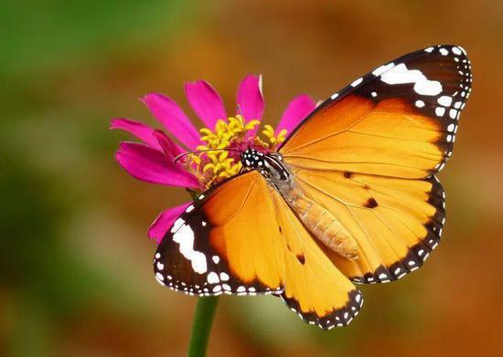 蝴蝶和紫菀都在大规模灭绝变得之后多样化。| 图片来源:Wikipedia